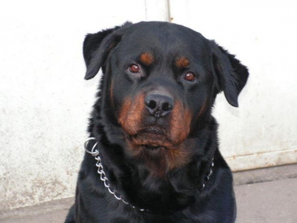 les rottweillers - photo 2