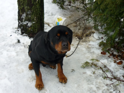 les rottweillers - photo 3